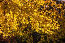 Gelbe Blätter von mroppx