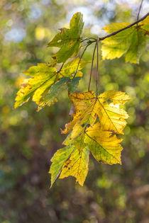 Blätter im Herbst von mroppx