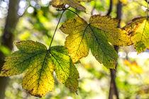 Blätter im Herbst by mroppx