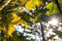 Blätter im Gegenlicht by mroppx