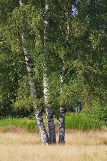 Birken von Gabi Siebenhühner