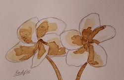 Coffee-flowers-x