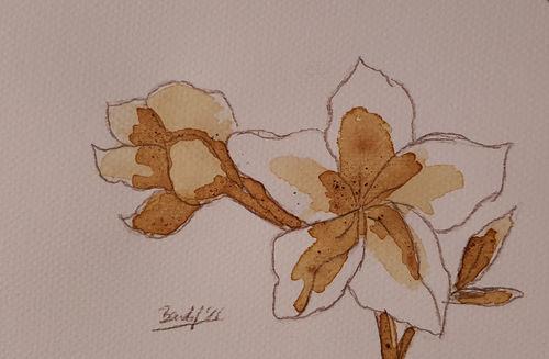 Coffee-flowers-xvi