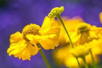 Gelbe Blüten auf Lavendel von mroppx