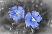 Gentle Blue Flower von cinema4design