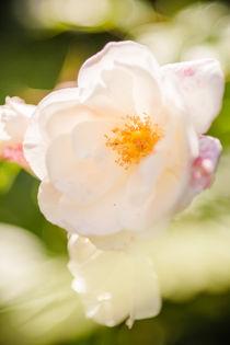 'creme farbene rose' von mroppx