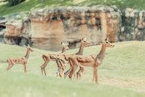 African Impala (Aepyceros Melampus) Antelope von Radu Bercan