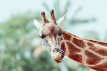 Northern Giraffe (Giraffa Camelopardalis) Portrait by Radu Bercan