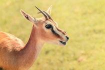 African Thomson's Gazelle (Eudorcas Thomsonii) von Radu Bercan
