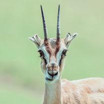 African Thomson's Gazelle (Eudorcas Thomsonii) by Radu Bercan