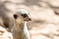 Meerkat or Suricate (Suricata Suricatta) in Africa von Radu Bercan