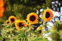 Sonnenblumen im Strahl der Sonne von Simone Marsig