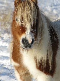 Minishetty im Winter von Beatrix Daum