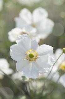 Weiße Blumen / 2 von Heidi Bollich