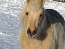 Shetlandpony im Winter von Beatrix Daum