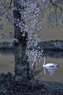 'Swans Lake - Swans magic' von Chris Berger