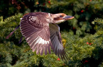 Kookaburra in Flight von Keld Bach