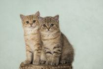 Britisch Kurzhaar Kittens / 7 von Heidi Bollich