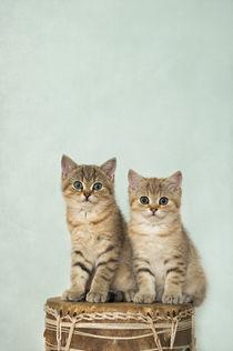 Britisch Kurzhaar Kittens / 8 von Heidi Bollich