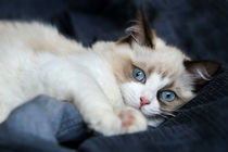 Ragdoll  Kitten by photoart-mrs