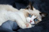 Ragdoll  Kitten by photoart-mrs