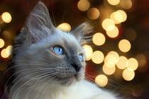 Ragdoll Christmas von photoart-mrs