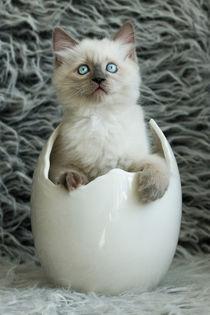 Ragdoll im Ei  von photoart-mrs