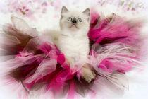 Kleine Ragdoll Ballerina von photoart-mrs