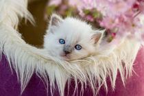 Springtime Dreams with a Ragdoll Kitten von photoart-mrs