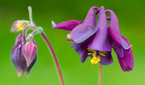 Purple Columbine by Keld Bach