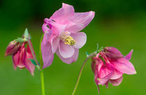 Pinkish Columbine by Keld Bach