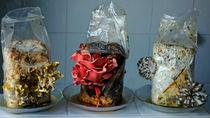 Pilze aus dem Zuchtpaket von Hartmut Binder