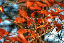 Autumnred von Susanne  Mauz
