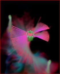Weihnachten Sternenfächer rosa von Heide Pfannenschwarz