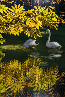 Swan Lake in autumn -  Under the ash by Chris Berger