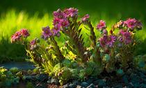Cobweb Blooms ad Libitum von Keld Bach