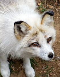 ARCTIC FOX HYBRID by Ron Moses