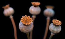 Poppy Seed Pods 2 by Keld Bach