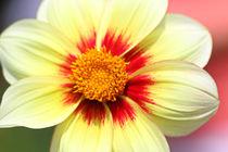 Blüte im Sonnenlicht by Bernhard Kaiser