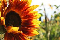 Sonnenblume mit Bienenbesuch von Angelika Thomson