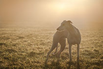 Whippets -  In the fog by Chris Berger