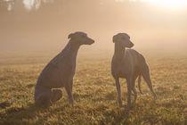 Whippets - Watchful in the mist von Chris Berger
