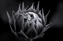Sunflower Knot by Keld Bach