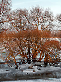 Oderbäume mit Eiskrawatte by voelzis-augenblicke