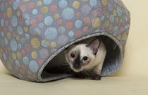 Thai Kitten / 1 by Heidi Bollich