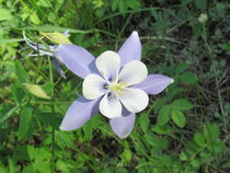 COLUMBINE by Ron Moses
