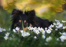 Shy Sheltie Girl von photoart-mrs