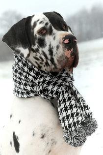 Great Dane in Winter von photoart-mrs
