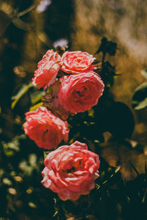 Red Rose  by whiterabbitphoto