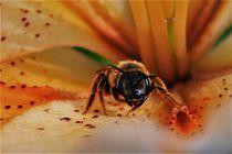 Biene frontal von Angelika Thomson